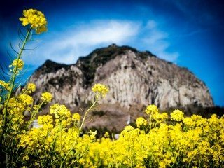 Yellow Sunflowers in the mountains of Jeju Island, South Korea.