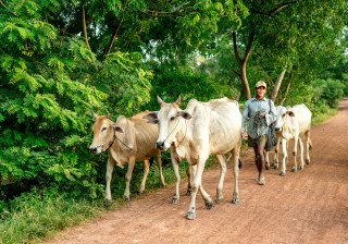 Cowboy walking cattle in Siem Reap Countrside by Graeme Heckels Travel Photography